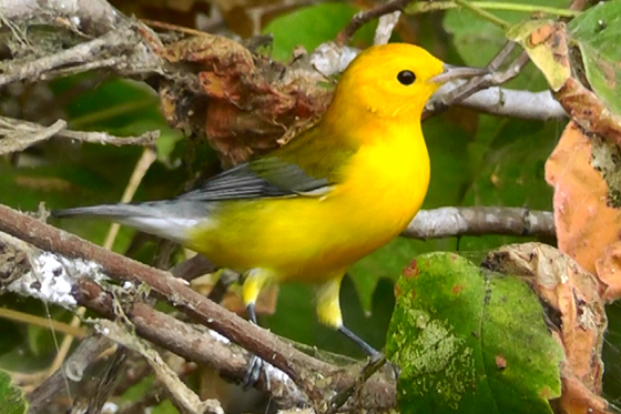 Prothonatary Warbler Male